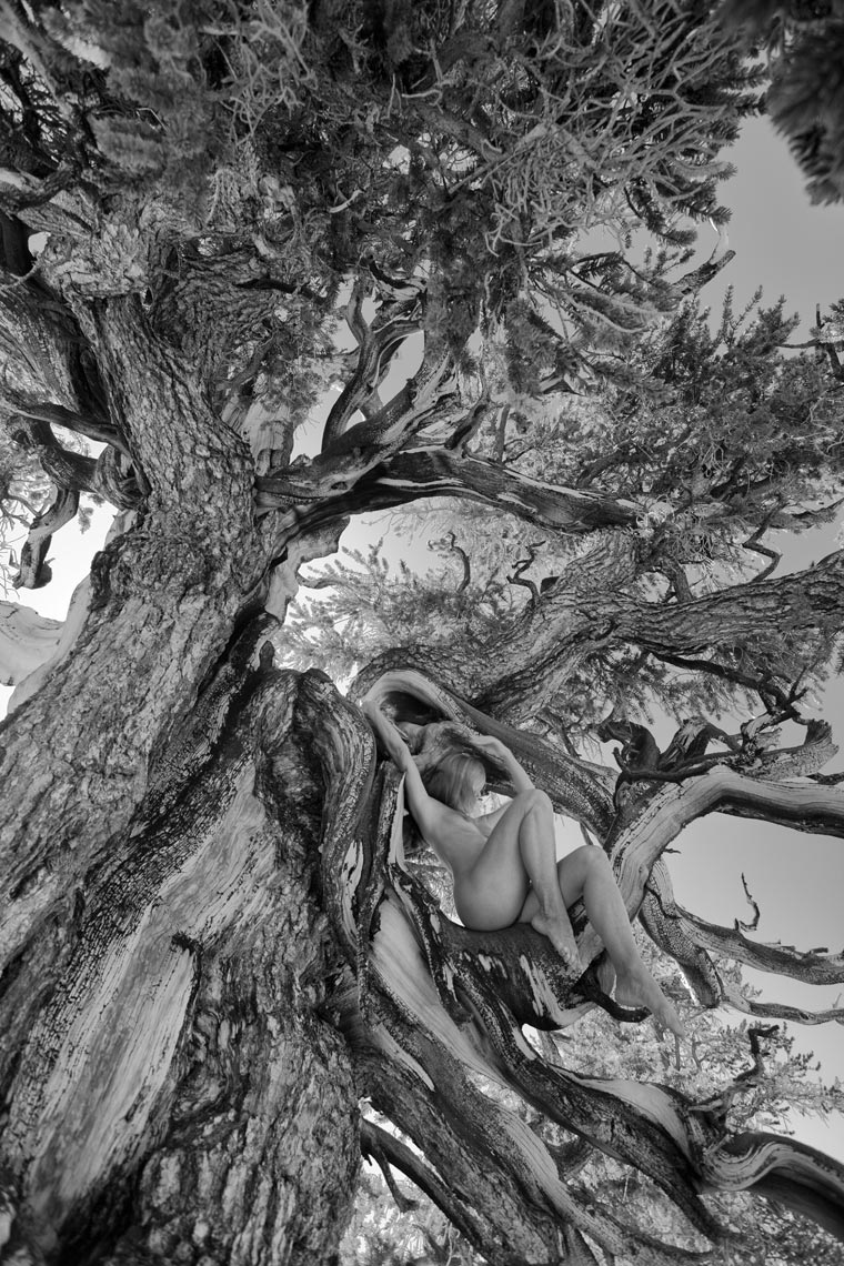 13-kimi-bristlecone-in-tree-new-angle